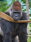 gorillas Fotografie Stock Libere da Diritti