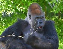 gorillas Fotografia Stock Libera da Diritti