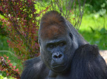 gorillas Immagine Stock