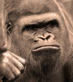 gorillas Immagini Stock