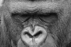gorillas Immagine Stock Libera da Diritti