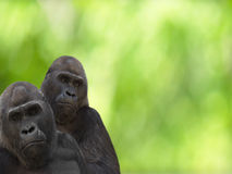 Gorillas Royalty Free Stock Photo