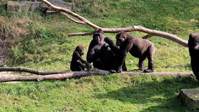 Gorillas are begging for food stock footage