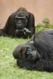 Gorillas des westlichen Tieflandes Stockfotografie