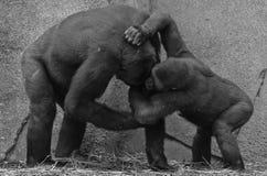 Gorillas Fighting. Gorilla or silverback in Africa Stock Image