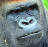 Gorillas Stock Images