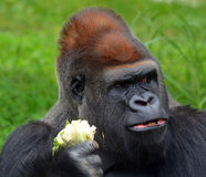 Gorillas Royalty Free Stock Photos