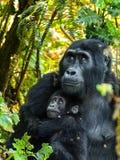 Gorillas Stock Photo