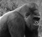 Gorillas are ground-dwelling, predominantly herbivorous apes. That inhabit the forests of central Africa. The DNA of gorillas is highly similar to that of royalty free stock images