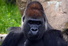 Gorillas. Are ground-dwelling, predominantly herbivorous apes that inhabit the forests of central Africa. The DNA of  is highly similar to that of humans, from Royalty Free Stock Photo