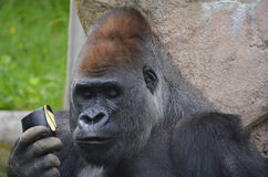 Gorillas. Are ground-dwelling, predominantly herbivorous apes that inhabit the forests of central Africa. The DNA of  is highly similar to that of humans, from Stock Image