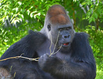 Gorillas. Are ground-dwelling, predominantly herbivorous apes that inhabit the forests of central Africa. The DNA of  are highly similar to that of humans, from royalty free stock photography