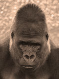 Gorillas stock photography
