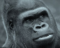 Gorillas Stock Photo