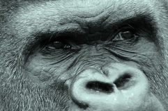 Gorillas. Are ground-dwelling, predominantly herbivorous apes that inhabit the forests of central Africa. The DNA of  is highly similar to that of humans, from royalty free stock photos