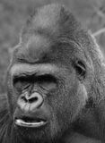 Gorillas Royalty Free Stock Images