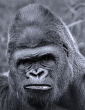 Gorillas Stock Photos