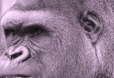 Gorillas. Are ground-dwelling, predominantly herbivorous apes that inhabit the forests of central Africa. The DNA of  is highly similar to that of humans, from royalty free stock photography
