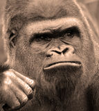 Gorillas. Are ground-dwelling, predominantly herbivorous apes that inhabit the forests of central Africa. The DNA of  is highly similar to that of humans, from stock images