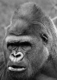 Gorillas. Are ground-dwelling, predominantly herbivorous apes that inhabit the forests of central Africa. The DNA of  is highly similar to that of humans, from stock photography