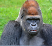 Gorillas Stock Photography
