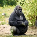 Gorilla looks in the camera royalty free stock photo