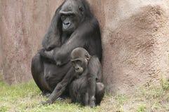 Gorillas. It is image of gorillas in zoo Royalty Free Stock Photo