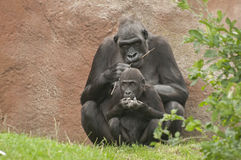 Gorillas Royalty Free Stock Image