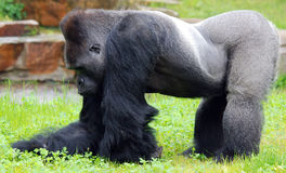 Gorillas Stock Image
