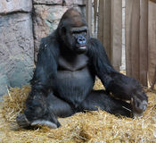 Gorillas. Are the largest extant species of primates. They are ground-dwelling, predominantly herbivorous apes that inhabit the forests of central Africa Royalty Free Stock Photos