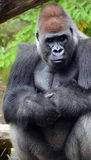 Gorillas. Are the largest extant species of primates. They are ground-dwelling, predominantly herbivorous apes that inhabit the forests of central Africa Royalty Free Stock Photo