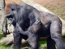 Gorillas. Are the largest extant species of primates. They are ground-dwelling, predominantly herbivorous apes that inhabit the forests of central Africa Stock Photo