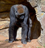 Gorillas. Are the largest extant species of primates. They are ground-dwelling, predominantly herbivorous apes that inhabit the forests of central Africa Stock Images
