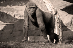 Gorillas. Are the largest extant species of primates. They are ground-dwelling, predominantly herbivorous apes that inhabit the forests of central Africa Royalty Free Stock Image