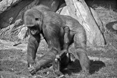 Gorillas. Are the largest extant species of primates. They are ground-dwelling, predominantly herbivorous apes that inhabit the forests of central Africa Stock Photography