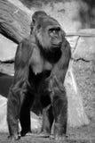 Gorillas Royalty Free Stock Images