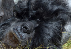 Gorillas. Are the largest extant species of primates. They are ground-dwelling, predominantly herbivorous apes that inhabit the forests of central Africa Royalty Free Stock Images