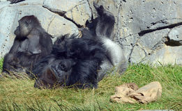 Gorillas. Are the largest extant species of primates. They are ground-dwelling, predominantly herbivorous apes that inhabit the forests of central Africa Royalty Free Stock Photography