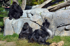Gorillas. Are the largest extant species of primates. They are ground-dwelling, predominantly herbivorous apes that inhabit the forests of central Africa Stock Photos