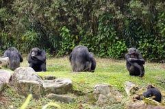 Gorillas Stock Image