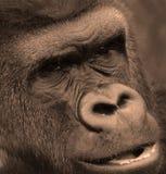 Gorillas sind Bodenwohnung, überwiegend pflanzenfressende Affen Stockfotos