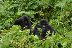 Gorillas sitting on dense foliage. Two Gorillas sitting on dense foliage in the jungle of Rwanda stock images