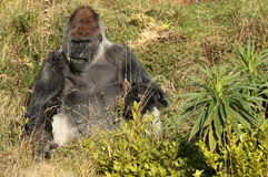 Gorillas. Royalty Free Stock Images