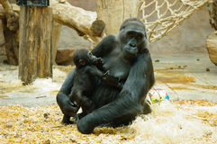 Gorillas in the zoo cage. Mother and baby gorilla at Prague Zoo Royalty Free Stock Images
