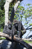 Gorillas zwei Stockbild