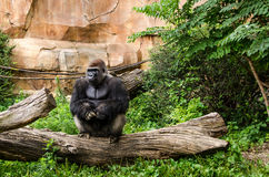 Gorillasammanträde för västra lågland på journal Royaltyfria Bilder