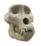 Gorillaschädel lokalisiert Stockbild