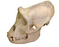 Gorillaschädel lokalisiert auf Weiß Lizenzfreie Stockfotos