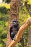 Gorillaschätzchen im Baum Stockfotografie