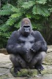 gorillasilverback Royaltyfri Bild